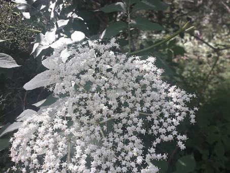 Sureau noir - Les petites fiches Botanique & Phytothérapie à lire pendant la pause tisane