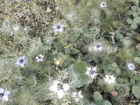 Nigelle de Damas - Les petites fiches Botanique & Phytothérapie à lire pendant la pause tisane