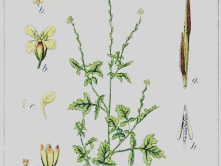 Sisymbre - Les petites fiches botanique & phytothérapie à lire pendant la pause tisane