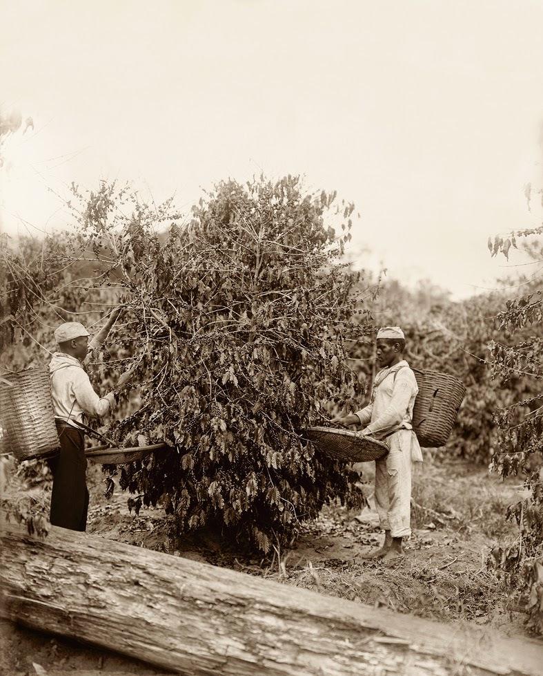 Negros na colheita de café em São Paulo, século XIX.