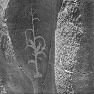 Corn, Crow Canyon