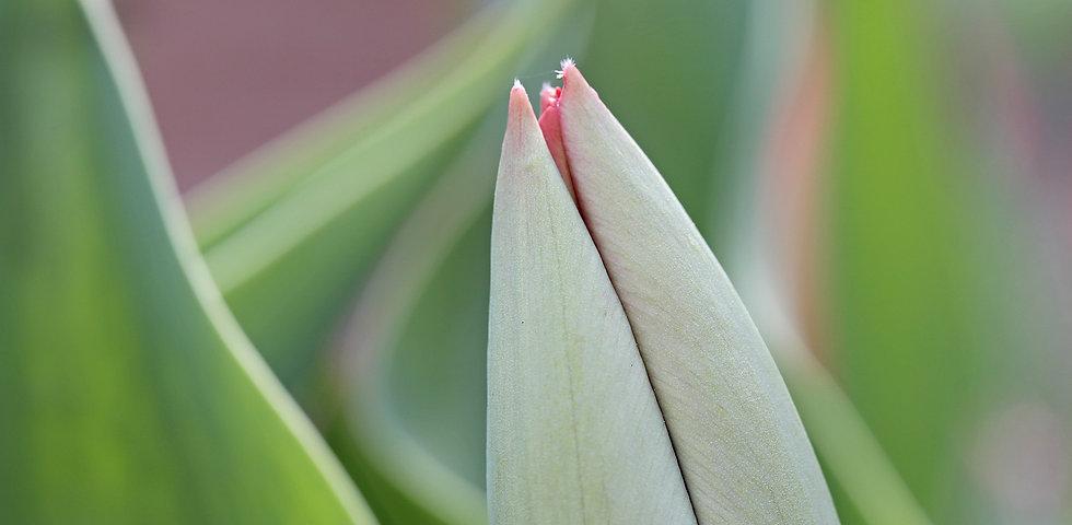 tulip_30_V2A8266_4x5_2500_crop2.jpg