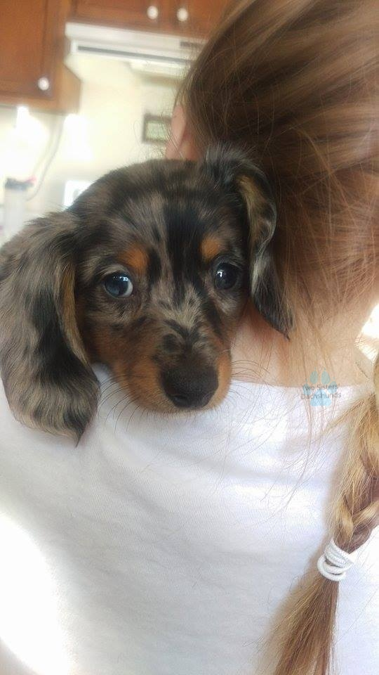 Two Sisters Dachshunds Miniature Dachshund Puppies For Sale
