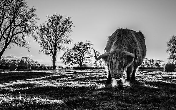 about highland coo.jpg