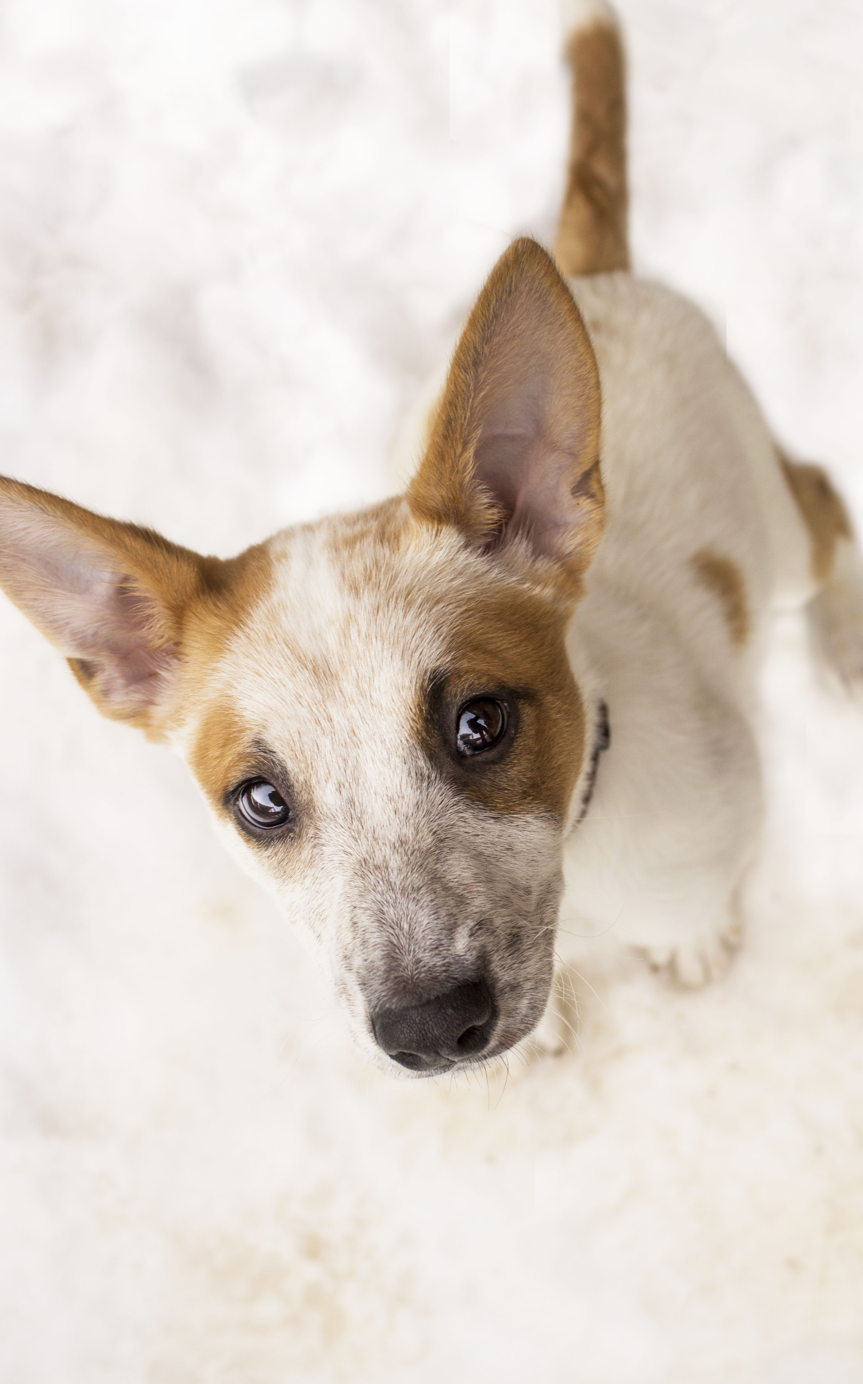 Cattle Pup