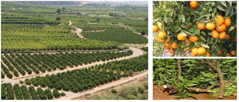 La poda de los naranjos: biomasa