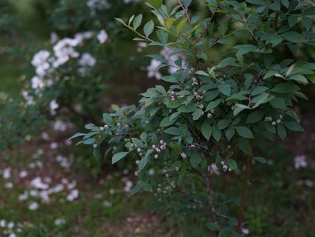 夏の名残のブルーベリージャム Enjoying harvest from the garden