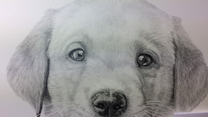 Harvey the Labrador