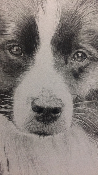 Angus the collie