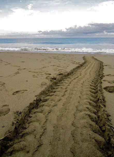 turtle tracks.