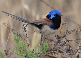 Fairy Blue Wren.JPG