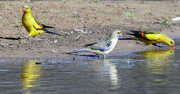 Eastern parrot-regent parrots 07 10 18.J