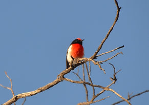 Red Robin 25 05 18..JPG