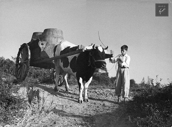 Heia, meu boi (c.1950)