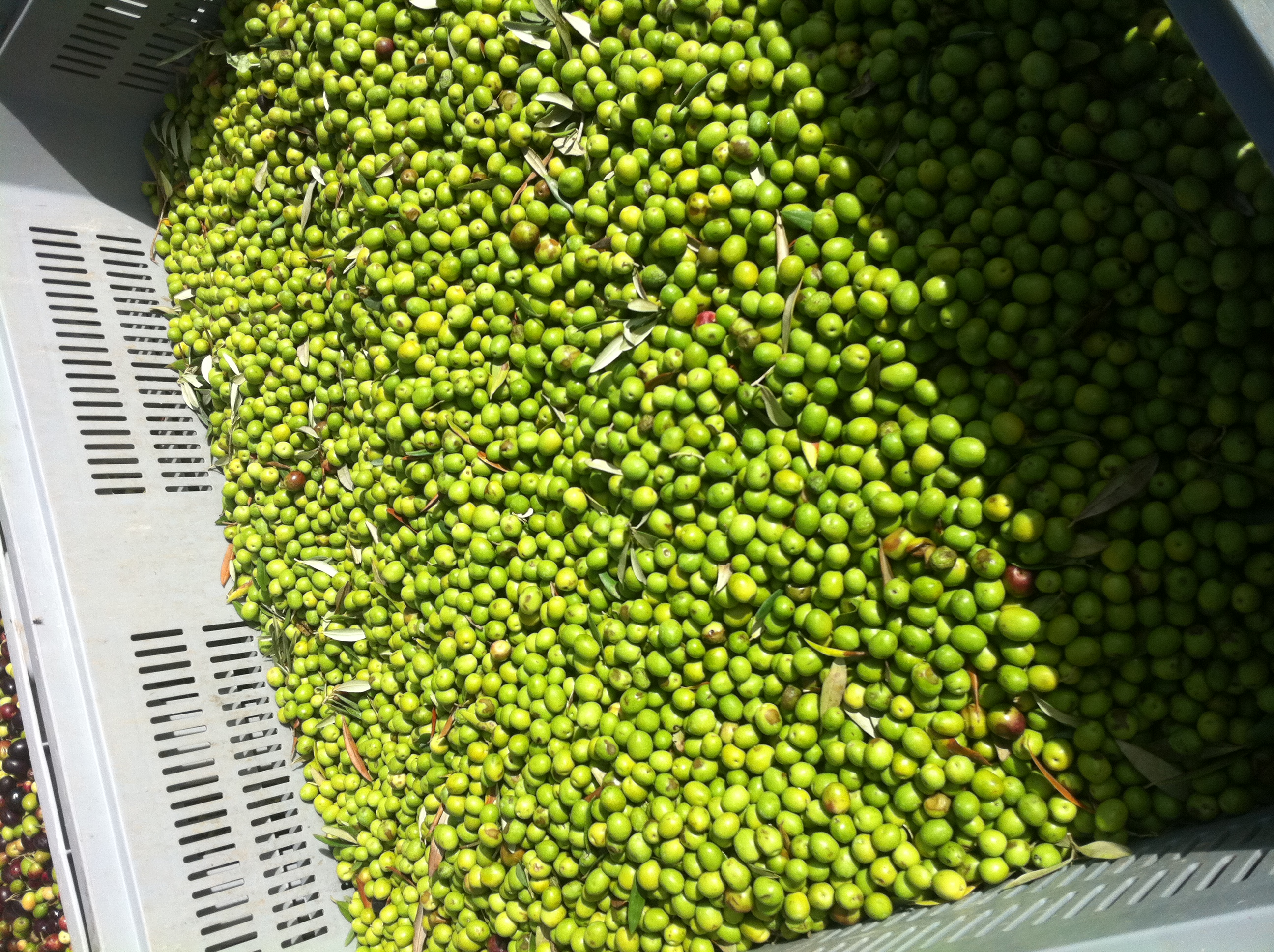 Olives to be processed