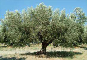 Maltese olive oil and the Olive oil Academy.