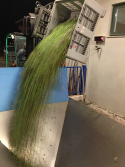 Olive processing