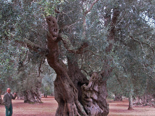 Puglian olive tree project
