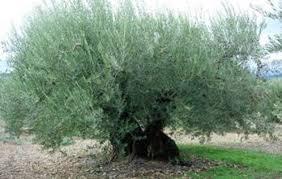 Algerian olive oil