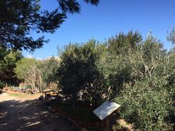 Maltese olive trees