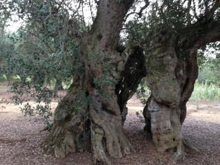 Xylella disease in Puglia