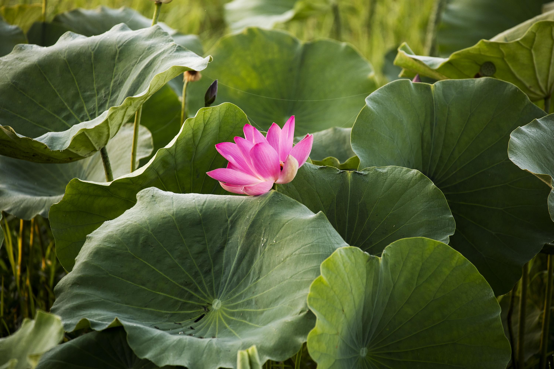 Lotus Sublime