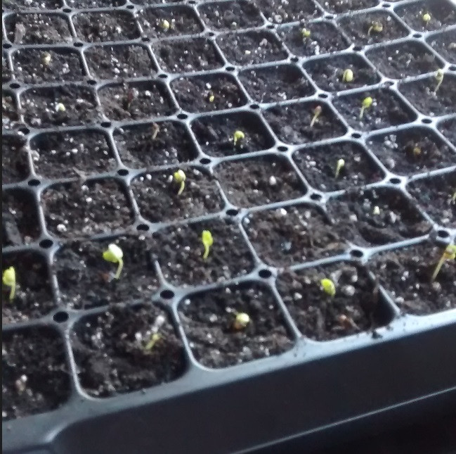kale sprouts.jpg