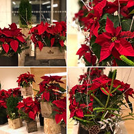 office poinsettia