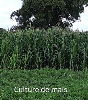 Culture_Mais.jpg