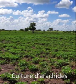 Culture_Arachides.jpg