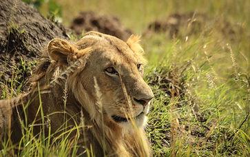 Lion_8429.jpg