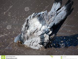 Joseph the Pigeon