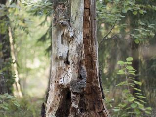 Timber...!