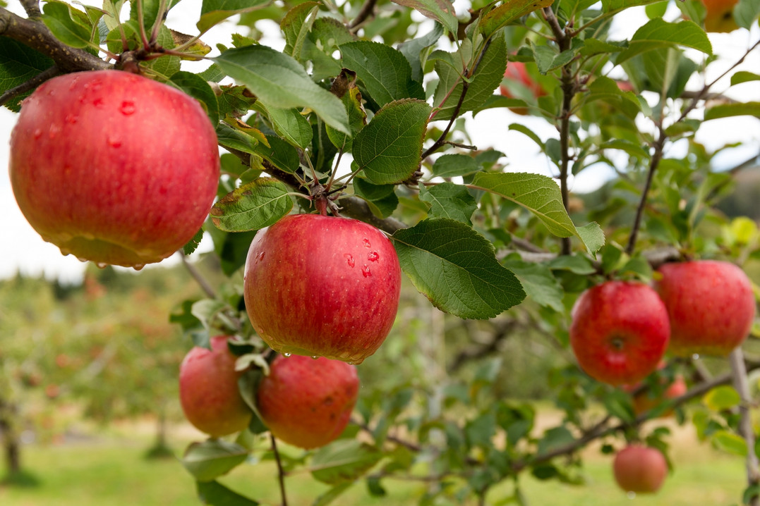 Apple Orchard Close Up.jpg