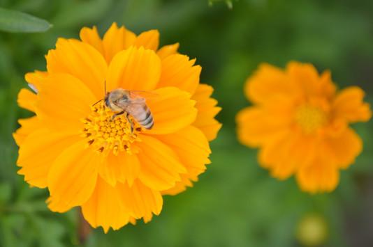 Honey Bees Fort Wayne Indiana