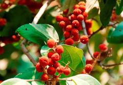 Mallotus-philippensis-fruits1.jpg