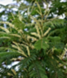 Acacia-suma-Acacia-polyacantha-White-SDL