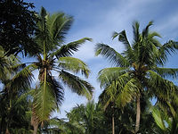 Coconut_Tree_in_Kerala.jpg