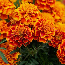 marigold-flowers-orange-pixabay_12708.jp
