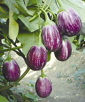 Green-india-vegetables-brinjal-fress-SDL