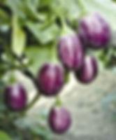 Green-india-vegetables-brinjal-fress-SDL