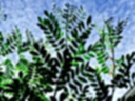 indigo leaves.jpeg