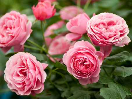 When to Plant Bare-Root Roses