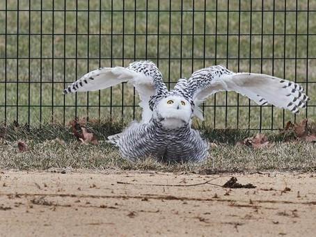 Редчайшая полярная сова завелась в Центральном парке!