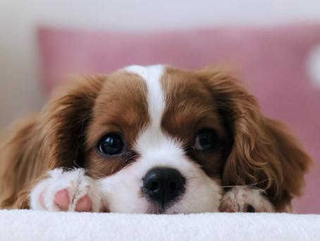 Сенат Нью-Йорка принял закон о прекращении розничной продажи щенков