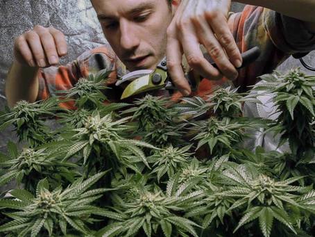 В Нью-Йорке легализована марихуана
