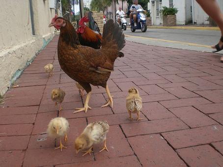 Во Флориде кормление уличных куриц будет грозить денежным штрафом