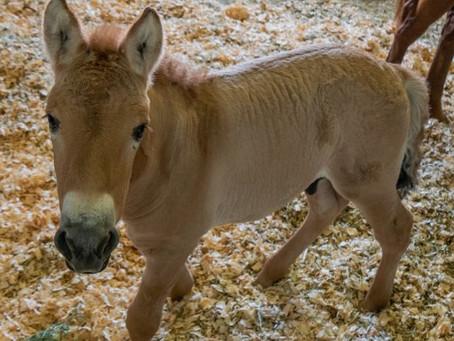 В Техасе на свет появилась первая клонированная лошадь Пржевальского