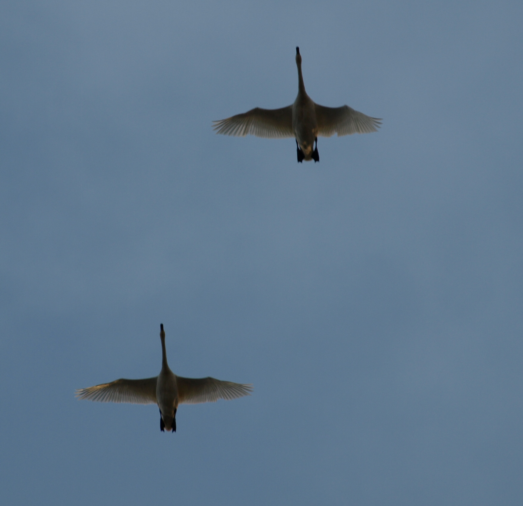 Swans flyby