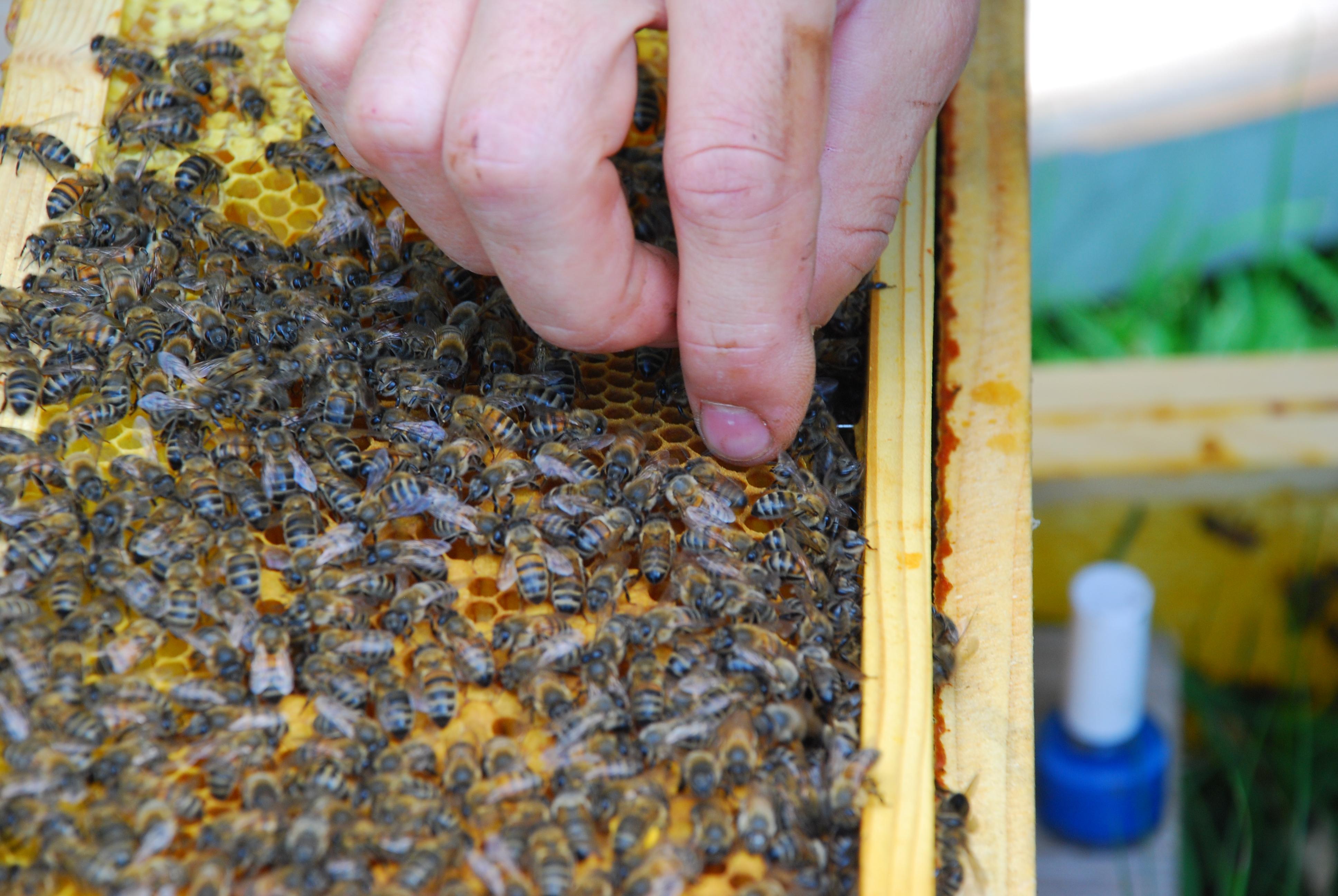 abeilles apiculteur sans gants